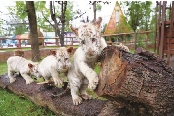 三胞胎小白虎幼崽亮相南通森林野生动物园