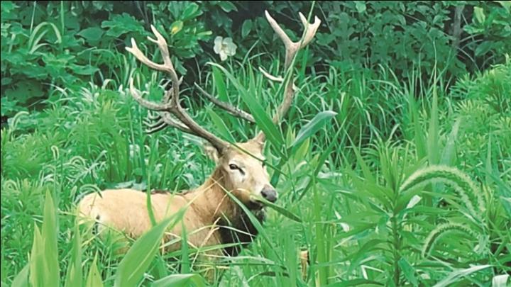 启东农庄草丛中探出一头麋鹿